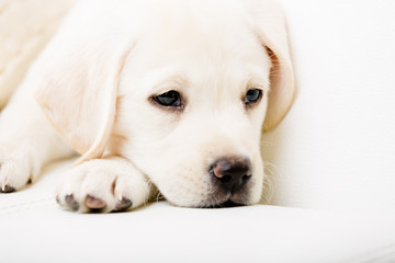Close up of sad white Labrador puppy lying on the white sofa