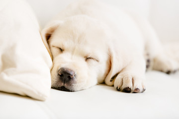 Close up of sleeping puppy of labrador on the white sofa