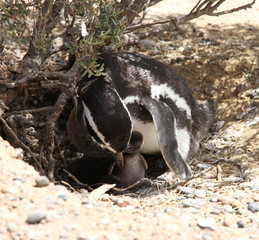 Magellanic penguin  with baby bird. Mothers care.