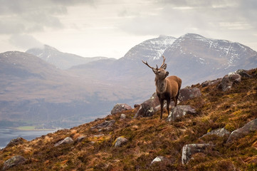 Wild stag, Scottish highlands Fototapete