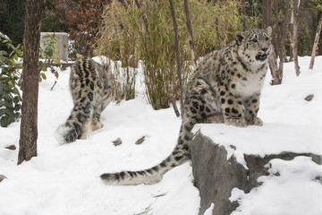 Crying Snow Leopard Cub in Snow on Rock