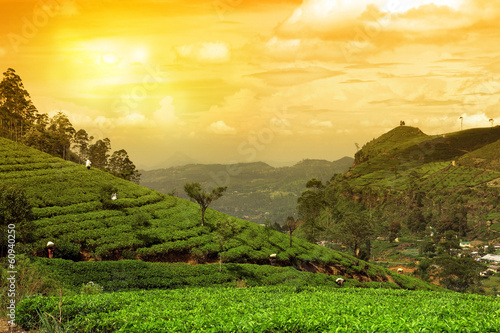 Wall mural tea plantation landscape sunset