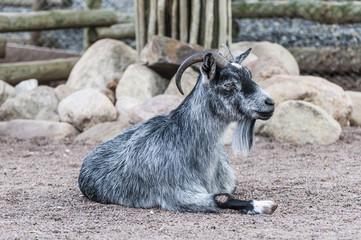 Goat laying on the ground