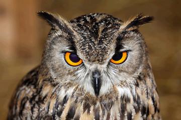 Eurasian owl eagle very close up, detail face