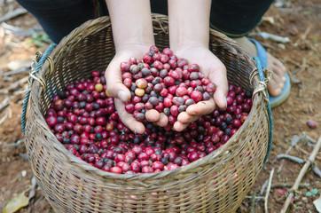 fresh coffee berries in hands
