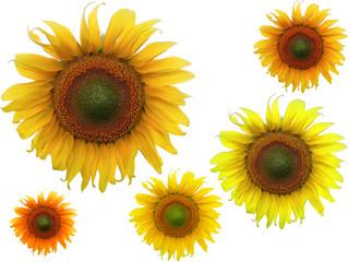 Sonnenblume Sonnemblumen gelb orange