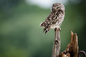 Wall Mural - UK wild Little Owl
