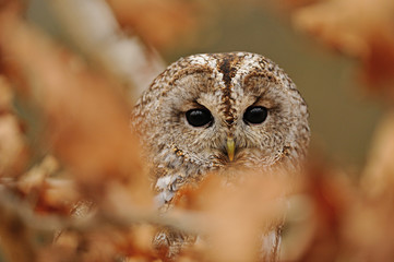 Fototapete - Tawny Owl hidden between leafs