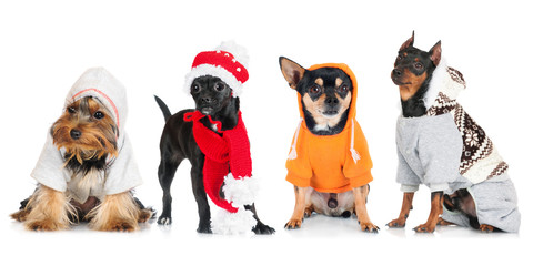 group of dressed small dogs