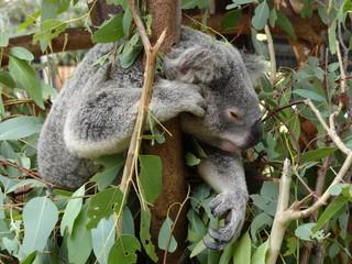 Koala in free nature in Australia