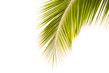 Coconut leaf on white