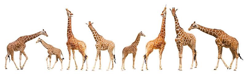 Papiers peints Girafe Giraffe (Giraffa camelopardalis)