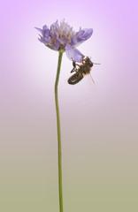 Side view of European honey bee, Apis mellifera foraging pollen