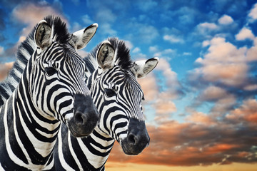 Aluminium Prints Zebra Zebras in the wild