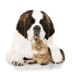 Wall Mural - Saint bernard dog with tabby cat