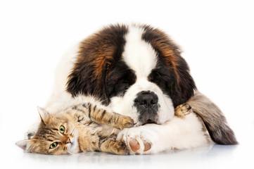 Wall Mural - Saint bernard puppy sleeping with tabby cat