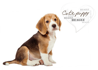 Adorable little beagle puppy on white