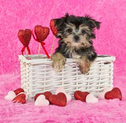 Cute little Morkie Puppy