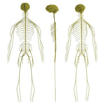 realistic 3d render of nervous system