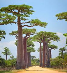Fotorolgordijn Baobab Baobab