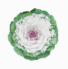 ornamental cabbage flower isolated on white