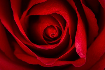 Beautiful close up of red rose