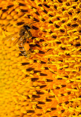 Bee on a sunflower close-up