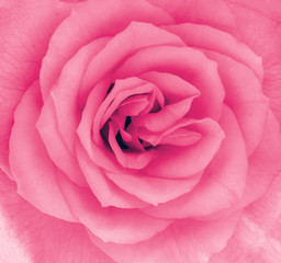 Close-up detail of a pink rose flower