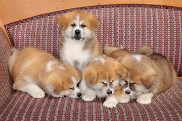 Young pets four Akita Inu puppy dogs at couch, group of animals
