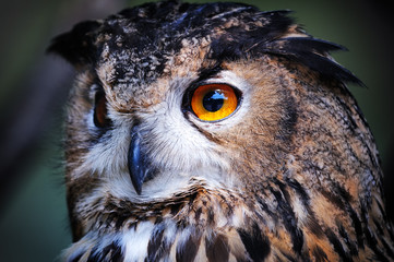Wild owl closeup
