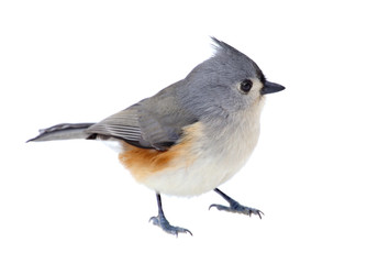 Tufted Titmouse Isolated Fotobehang