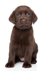 Chocolate Labrador puppy portrait