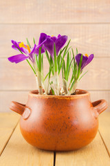purple crocus flowers in a vase pot