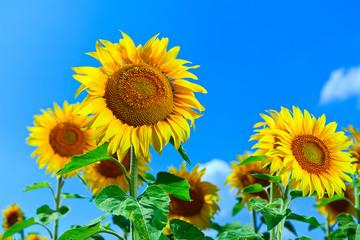 Bright sunflowers under blue sky