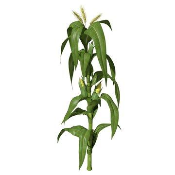 3d illustration of a corn stalk