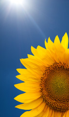 Single sunflower on a bright sunny sky background