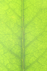 the veins of a leaf.