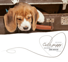 Little beagle puppy came out from old suitcase