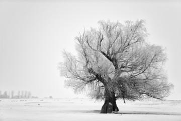 Beautiful tree in winter time in February 2014, Romania