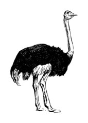 Hand drawing an ostrich. Vector illustration
