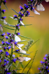 spring landscape with wild blue flowers and white butterflys