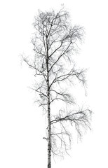 Birch tree without leaves in winter season isolated on white