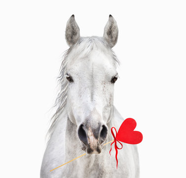 White horse with heart in mouth, Valentine, isolated