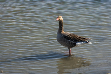 Greylag goose (Anser anser) in winter