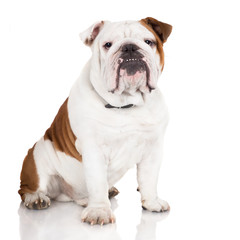 serious english bulldog dog
