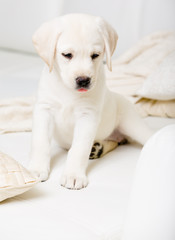 Close up of sitting on the white leather sofa puppy of labrador