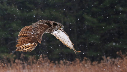 Fotomurales - Speaking Great Horned Owl in Flight