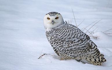 Fotoväggar - Sitting Snowy Owl