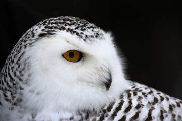 Fotoväggar - Snowy Owl Portrait