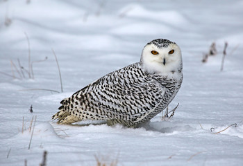 Fotoväggar - Snowy Owl (Bubo scandiacus)